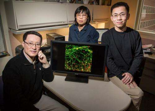 Team finds a better way to grow motor neurons from stem cells