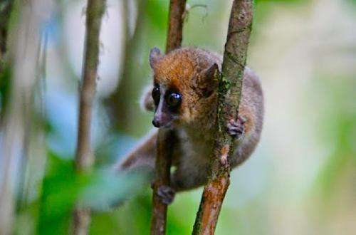 Teeth, sex and testosterone reveal secrets of aging in wild mouse lemurs