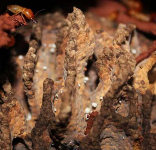 Termites evolved complex bioreactors 30 million years ago