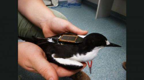 Tern tracking intensifies in the Abrolhos with lightweight device