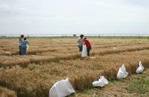 'Texas-bred' wheat traits headed to Africa