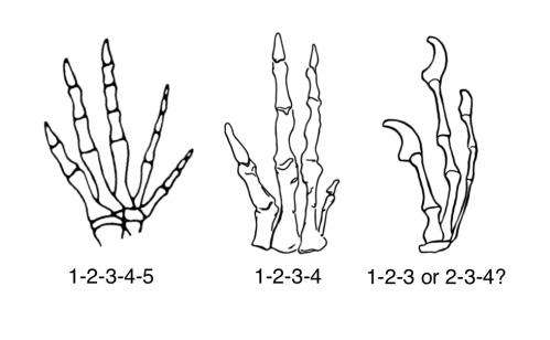 The 5 fingers of our feathered friends: New research results on the evolution of bird wings