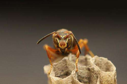 The big bad wolf was right; among wasps, bigger eyes evolved the better to see social cues