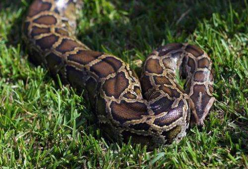 The Burmese python has a built-in compass that allows it to slither home in a near-straight line even if released dozens of kilo