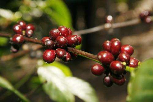 The coffee tree genome sequenced
