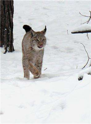 The Eurasian lynx as a key to the conservation and future viability of the endangered Iberian lynx