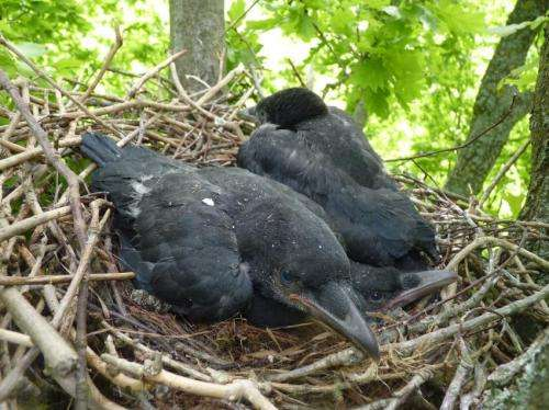 The genes tell crows to choose partners that look alike