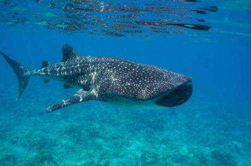The Maldives and the whale shark: The world's biggest fish adds value to paradise