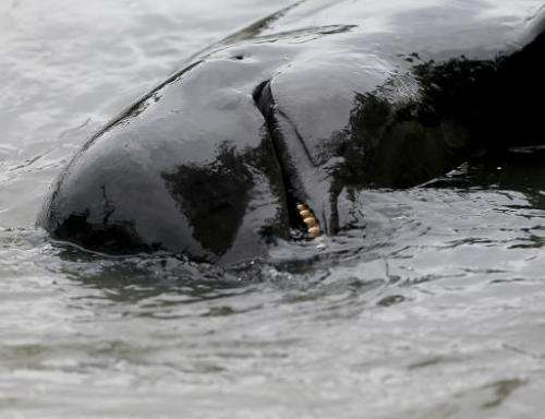 The pilot whales are forced into a shallow bay before being hacked to death with hooks and knives, according to a local Faroe Is