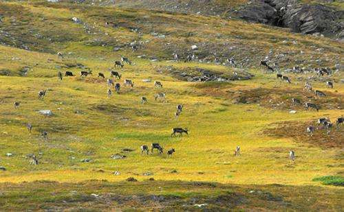The reindeer counteract the effects of climate warming