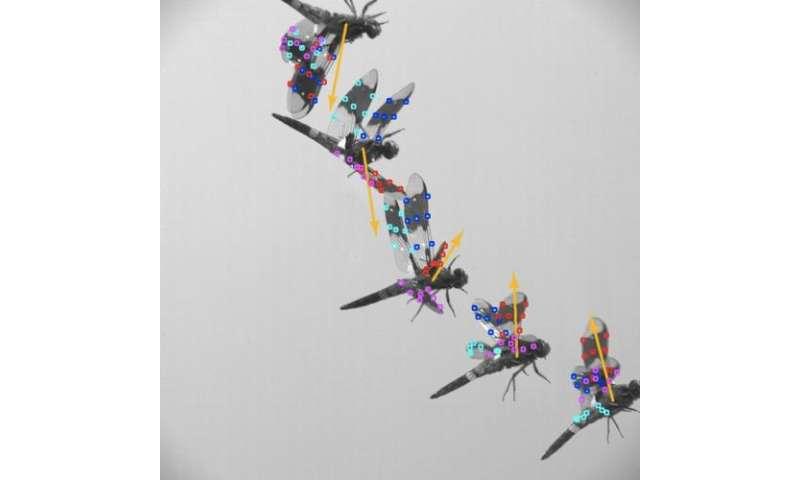 The secret of dragonflies' flight