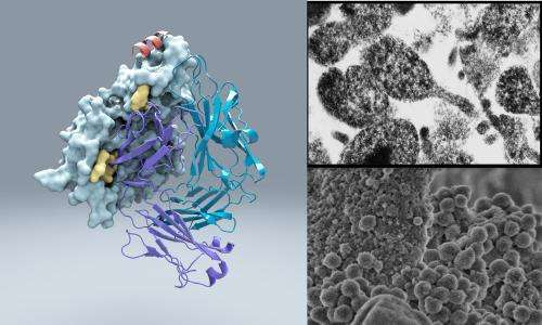 The ultimate decoy: Scientists find protein that helps bacteria misdirect immune system