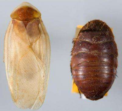 Thirty-nine new species of endemic cockroach discovered in the southwestern US and Mexico