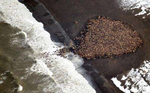 This NOAA photo shows an estimated 35,000 walruses as they gather on shore on September 23, 2014 about 5 miles north of Point La