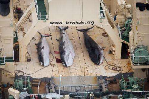 Three minke whales lie dead on the deck of a Japanese whaling factory ship inside a Southern Ocean sanctuary, according to anti-
