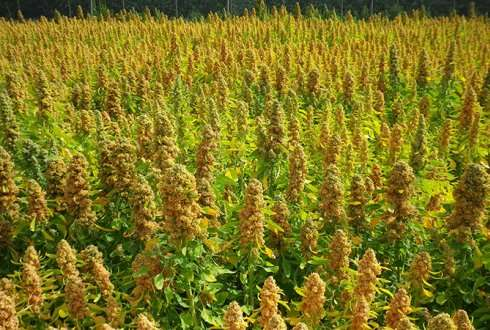 Three new quinoa cultivars for varying climates