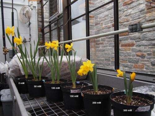 Three popular daffodil varieties determined to be highly salt tolerant