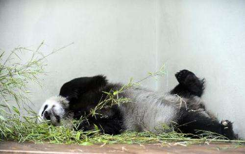 Tian Tian ('Sweetie'), female giant panda, relaxes in her compound at Edinburgh Zoo, on August 9, 2013