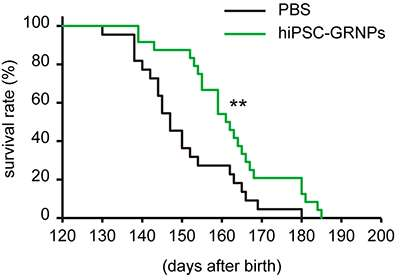 Transplantation of human iPS cell-derived glial-rich neural progenitor cells into ALS model mice extends their lifespans