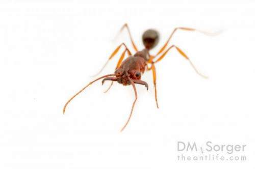 Trap-jaw ants spreading in southeastern United States