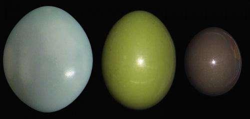 How bird eggs get their bling