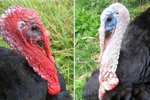 Turkeys inspire smartphone-capable early warning system for toxins