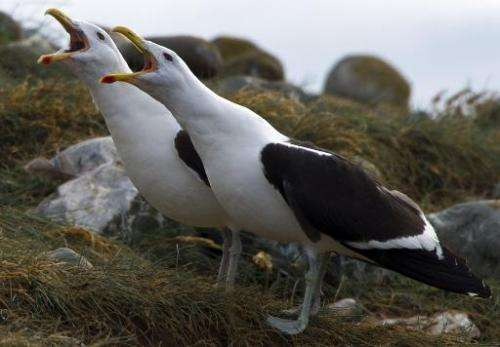Two Dominican gulls are seen on Magdalena Island, 50 km from Punta Arenas, Chile, on February 28, 2014