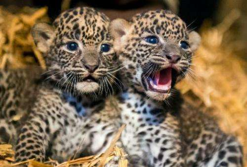 Two female Sri Lankan leopard cubs, born on July 1, 2014, play in their cage in Maubeuge zoo, northern France, on July 29, 2014.