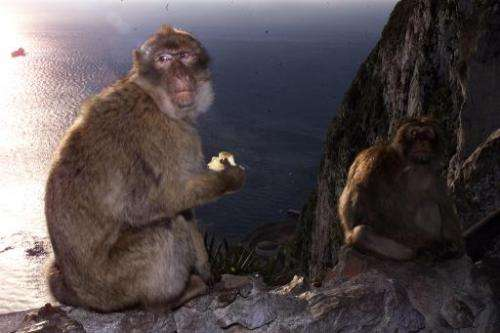 Two macaque monkeys in Gibraltar on February 10, 2000
