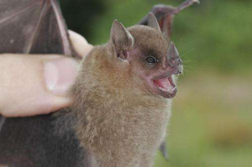 Two new species of yellow-shouldered bats endemic to the Neotropics