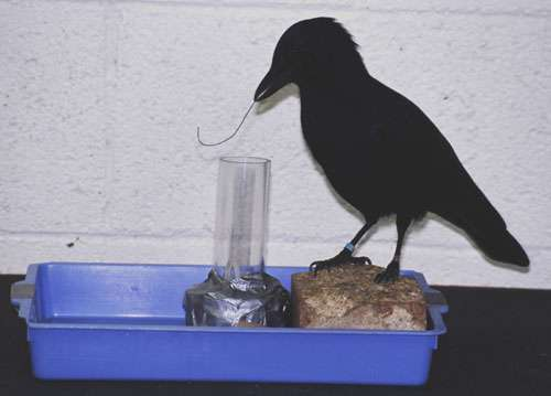 Why tool-wielding crows are left- or right-beaked