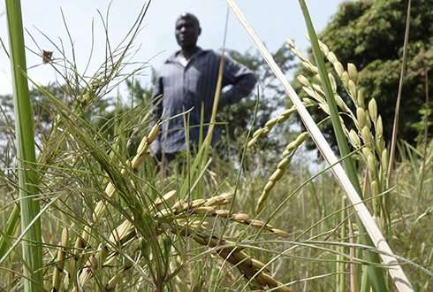 Unknown rice parasite threatens harvests in Africa