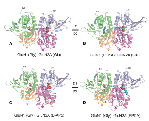 Unprecedented structural insights: NMDA receptors can be blocked to limit neurotoxicity