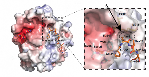 Unraveling a mystery in the 'histone code' shows how gene activity is inherited