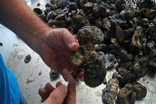 US Gulf oyster harvest nose-dives since BP spill