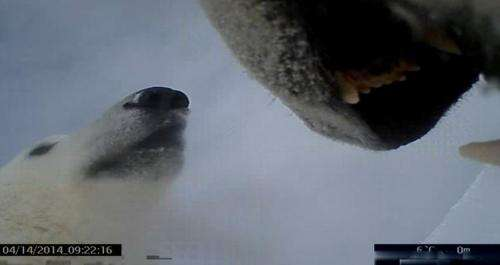 Video from polar bear's neck cam shows life on ice