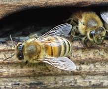 Virtual bees help to unravel complex causes of colony decline