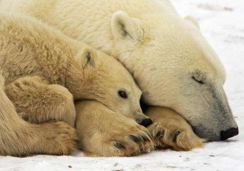 Warming is forcing the world's largest carnivore, the polar bear, to abandon its traditional ice-covered hunting grounds and mig