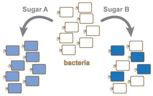 When faced with some sugars, bacteria can be picky eaters