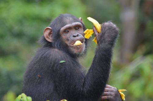 Why humans don't suffer from chimpanzee malaria