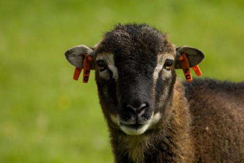 Wild sheep show benefits of putting up with parasites