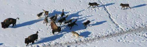 Wolves more cooperative when hunting large prey