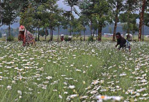 Women harvest pyrethre flowers, which will later be dried to produce pyrethrum, a natural insecticide, in Musanze, northern Rwan