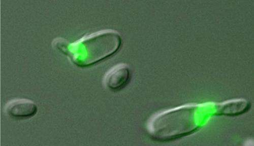 Yeast's lifestyle couples mating with meiosis