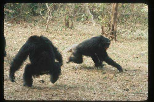 Male bullies father more chimpanzees