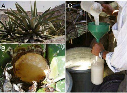 Pottery shards offer evidence of pulque production in prehispanic Mesoamerica