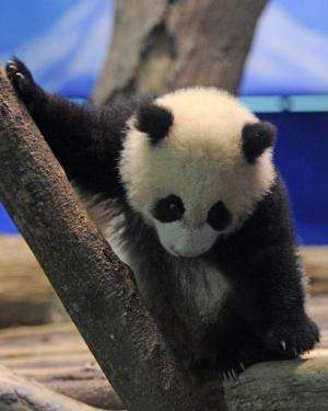 Yuan Zai, the first Taiwan-born baby panda, climbs inside an enclosure at the Taipei City Zoo on January 4, 2014