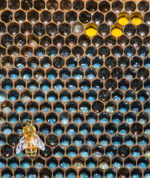 Age matters: Young larvae boost pollen foraging in honey bees