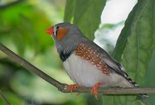 Zebra finches are sensitive to emotional cues in human speech