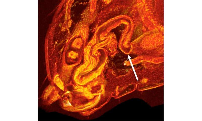 3 D Scans Of Mating Fruit Flies Uncovers Female Biology